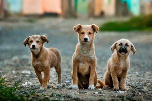Köpekler Ezan Okunurken Neden Ulur?