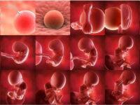 Hamilelikte Hafta Hafta Bebek Gelişimi   Bebek Gelişimi